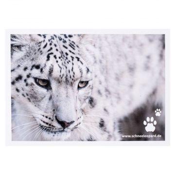 Postkarte Schneeleopard schaut nach unten