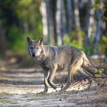 Wolf kreuzt Waldweg - Postkarte