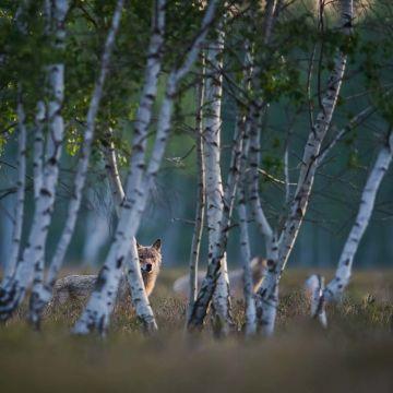 Wolf hinter Birken - Postkarte