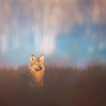 Wolf in der Herbstsonne - Postkarte