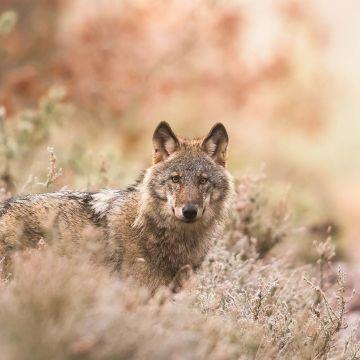 Wolf zwischen Sträuchern - Postkarte