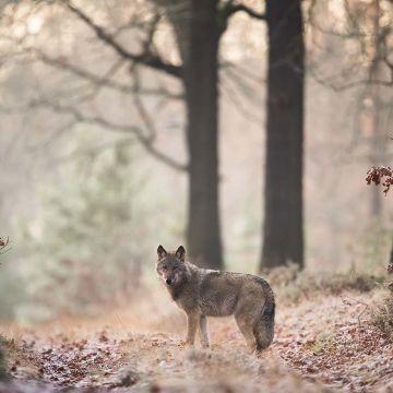 Wolf auf einer Lichtung - Postkarte