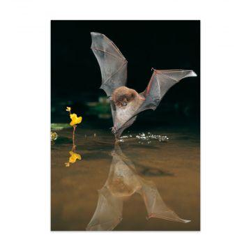 """Postkarte Fledermaus """"Wasserfledermaus"""""""