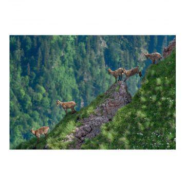 Postkarte Westkaukasische Steinböcke