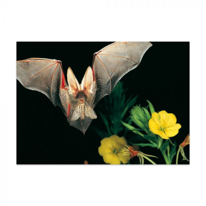Postkarte Fledermaus
