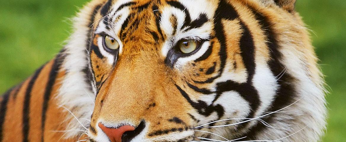 Tigerschutzprojekte
